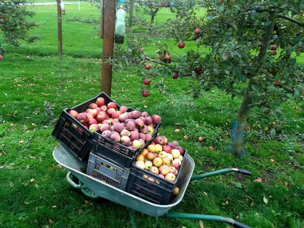 Cueillette des dernières pommes de conservation.
