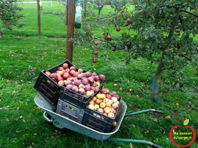La conservation des pommes