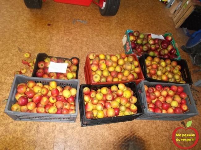 pommes pour la conservation
