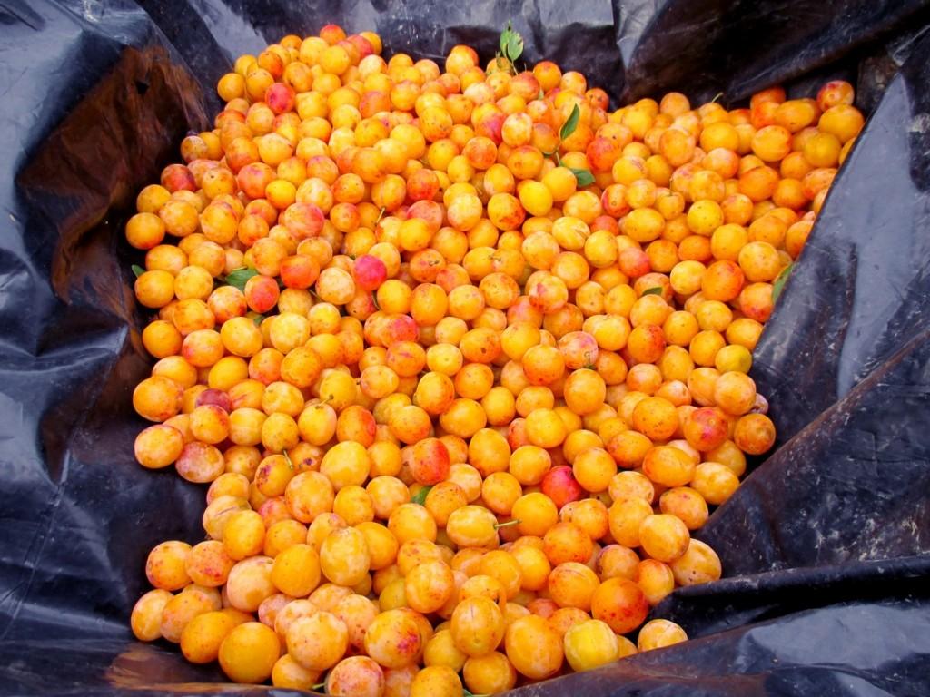 récolte des mirabelles sur bache et triage avant mise en fut pour eau-de-vie -schnaps mirabelles