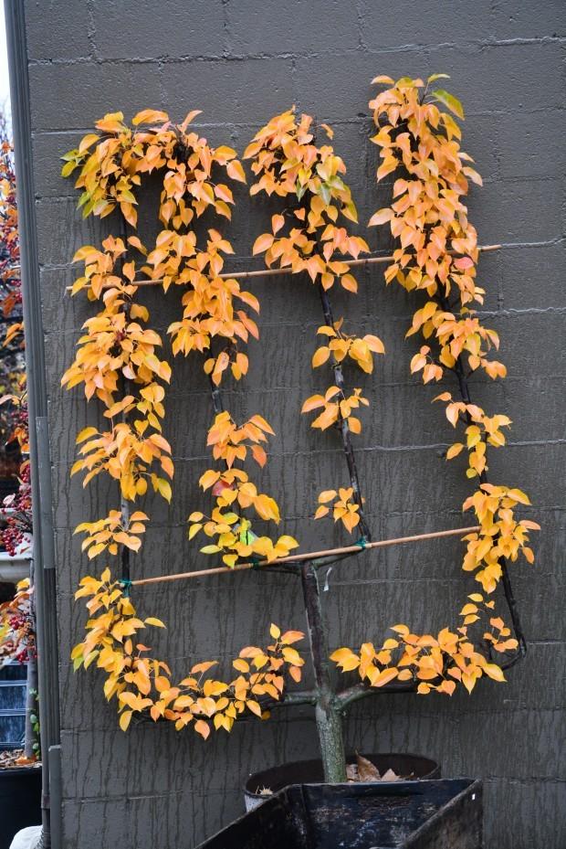 Palmette verrier dans bac ou pot à fleurs