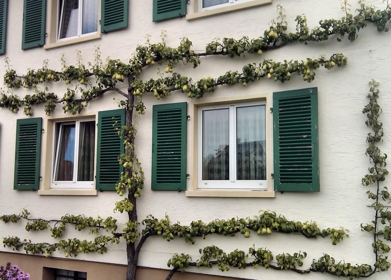 Spalierobst- palmette sur façade maison
