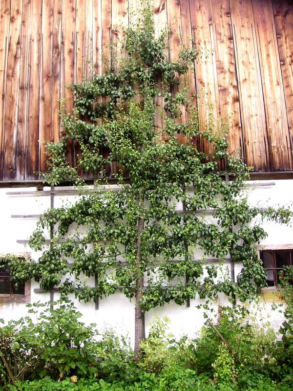palmette poirier sur façade maison