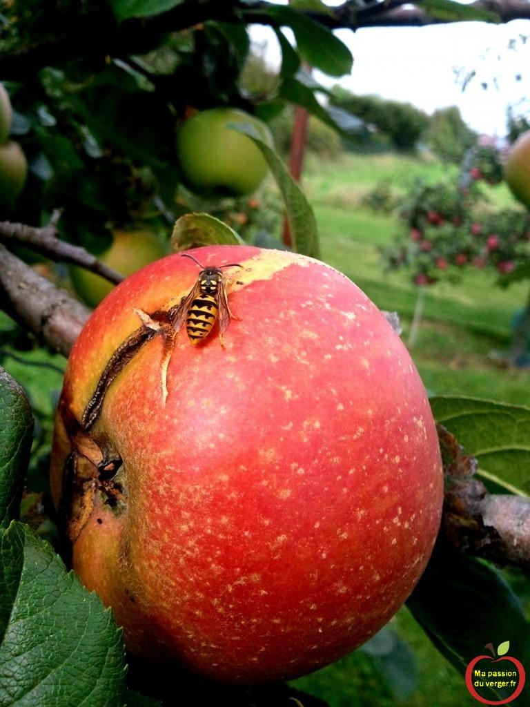 Attaque de guêpes sur pomme- pomme attaquée par les guêpes.