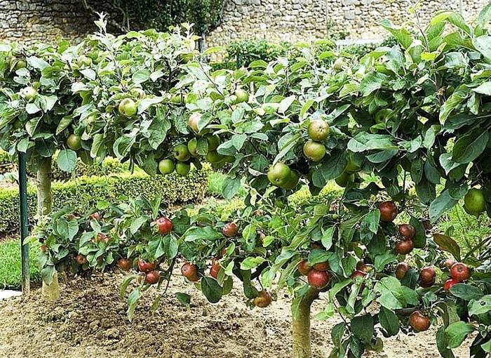 arbre-fruitier-Cordon horizontal bilatéral (SystèmeThomery)