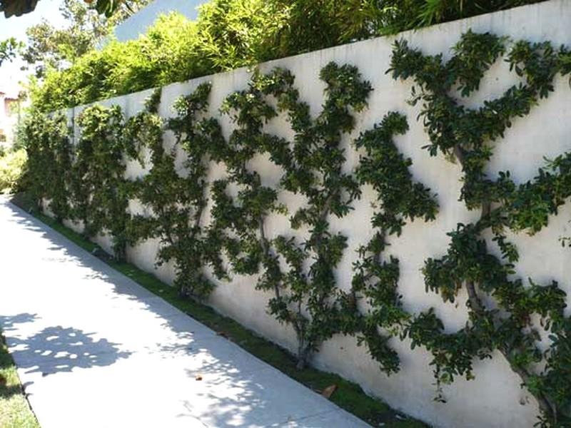 embellir le mur, avec des palmettes fruitiers