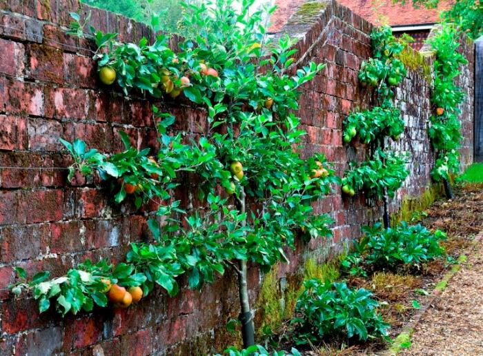 espalier-fruit-tree-Pommier en forme: Palmette horizontale à trois étages.