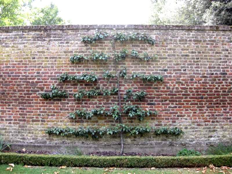 espalier-fruit-tree- Palmette horizontalesur un mur