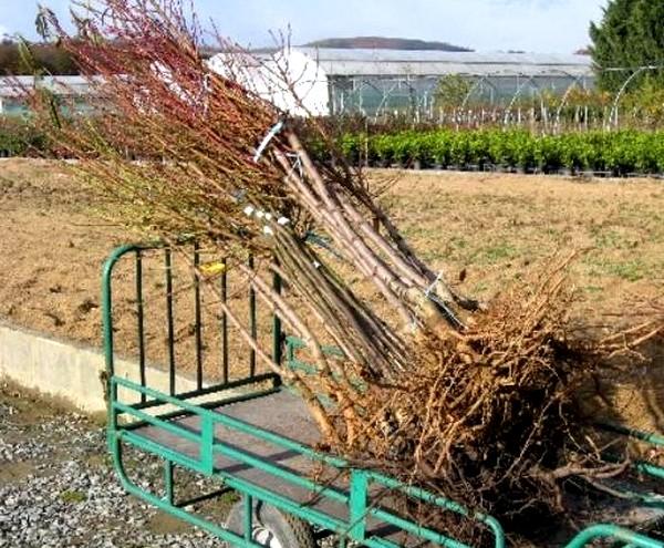 Allez plutôt chez votre pépiniériste de la région, vous aurez des arbres certifiés, de très bonne qualité et adapté à votre région.