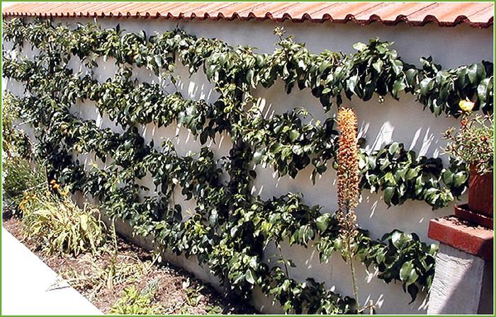 Pommiers en palmettes Ferraguti (4 étages)