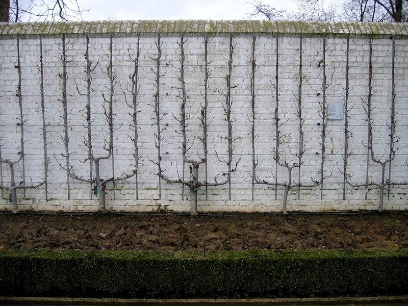 palmette-verrier Palmette Verrier 4 branches contre un mur