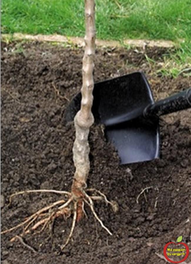 Plantation des arbres fruitiers avec racines à nues, plutôt en automne.