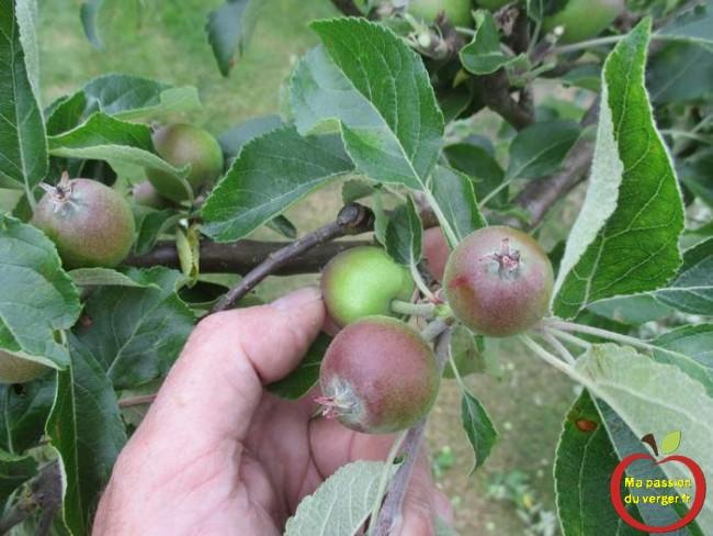 L'éclaircissage des pommes, peut se faire à la main, mais que certaines variétés, qui s'enlèvent bien.