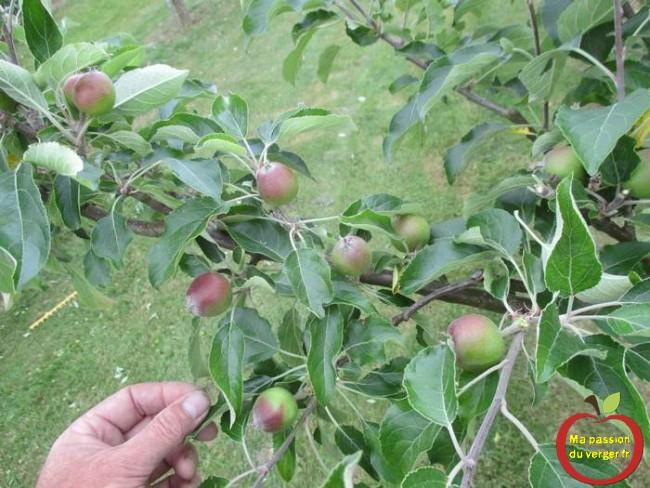 Pommier après l'éclaircissage des fruits. Il faut laisser une pomme, pour 40 feuilles, pour une bonne nutrition.