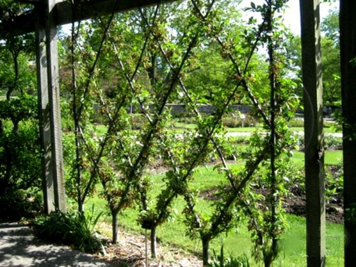 spalier-bauen-bäume-muster-diamant- pommiers en croisillon