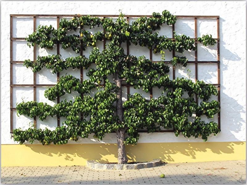 spalierobst-palmette sur façade maison