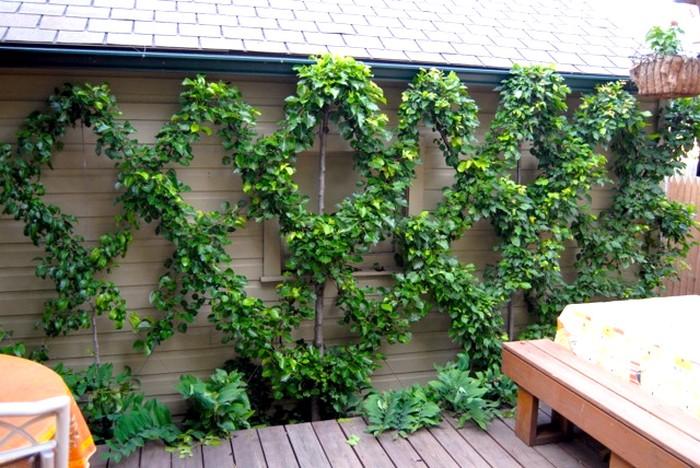 Fruitier en croisillon sur terrasse, pour embellir le mur.