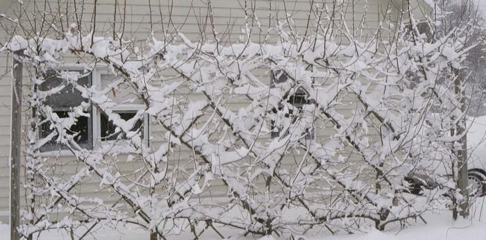 Palmette et espaliers en hiver