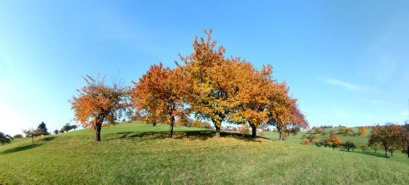GelbeApfelbäume