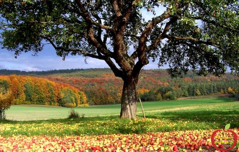 Herbst_Apfelbaum_berfluss-525x335