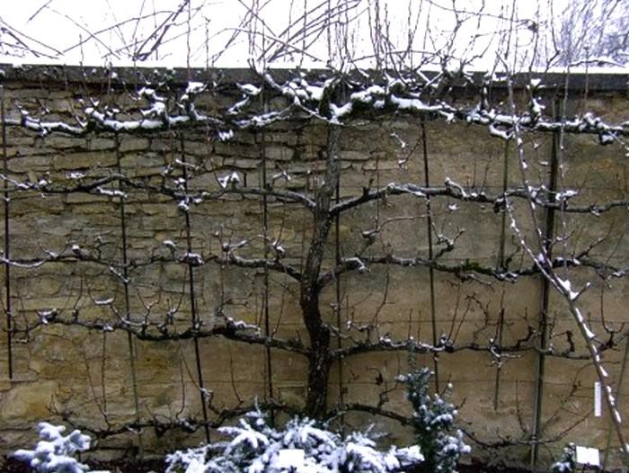 Palmette horizontale en hiver