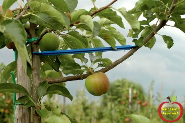 écarteur pvc - écatteur de branche Triangle- comment écarter les branches d'un fruitier- regrevudnoissapamegres