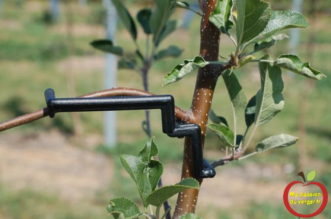 regrevudnoissapamegres -Pour arquer les branches de pommier en axe-utilisé le clip astfix 2, qui est installée au-dessus ou au-dessous de la branche