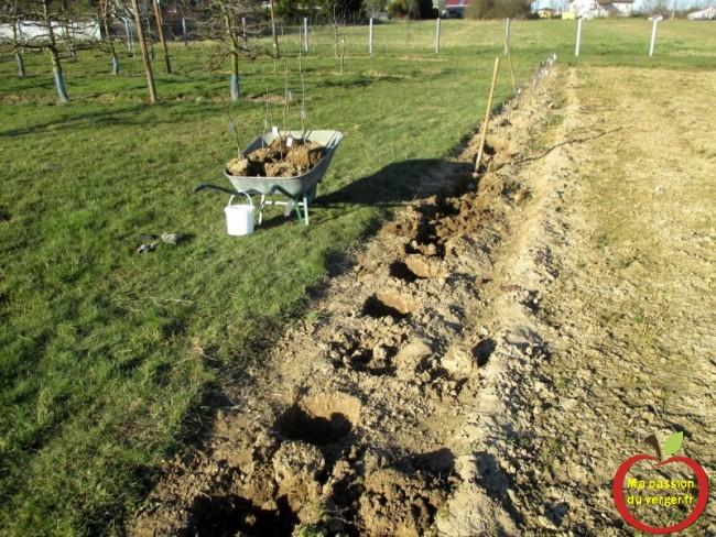 planter des arbres fruitiers en motte- repiquer scions greffés - transplanter scions greffés