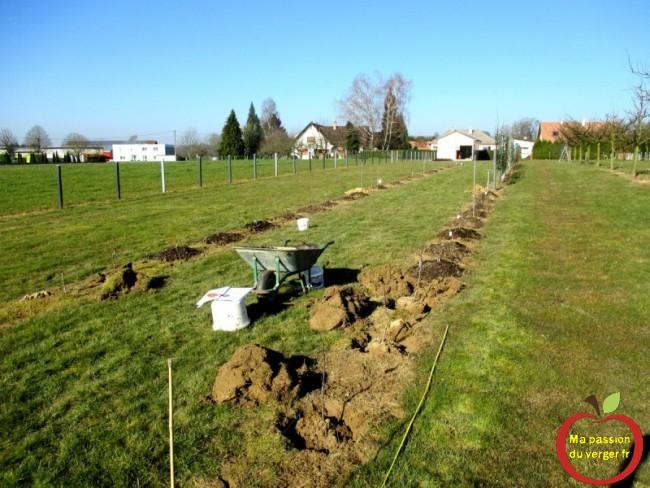 planter des arbres fruitiers poiriers en motte- repiquer scions poiriers greffés - transplanter scions poiriers greffés
