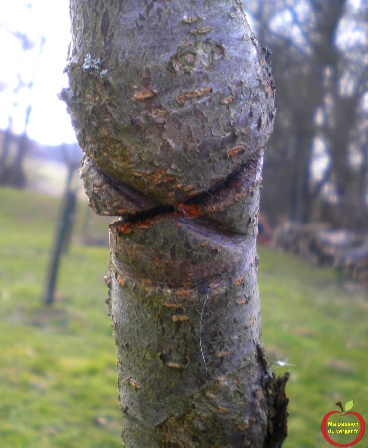 Pour éviter un étranglement, sur le tronc de l'arbre fruitier, avec des ficelles, ou des liens de mauvaise qualité