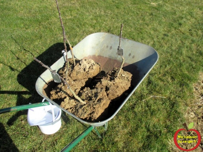 Plantation des scions greffes en motte, pour une meilleur reprise