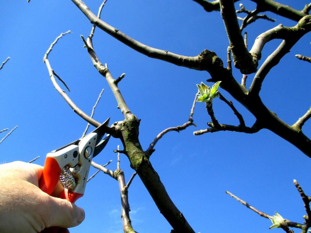 La taille de fructification d'un pommier en production