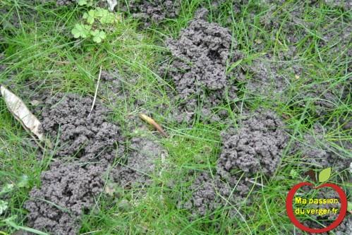 -tortillon-de-lombric les déjections de vers de terre dans le verger