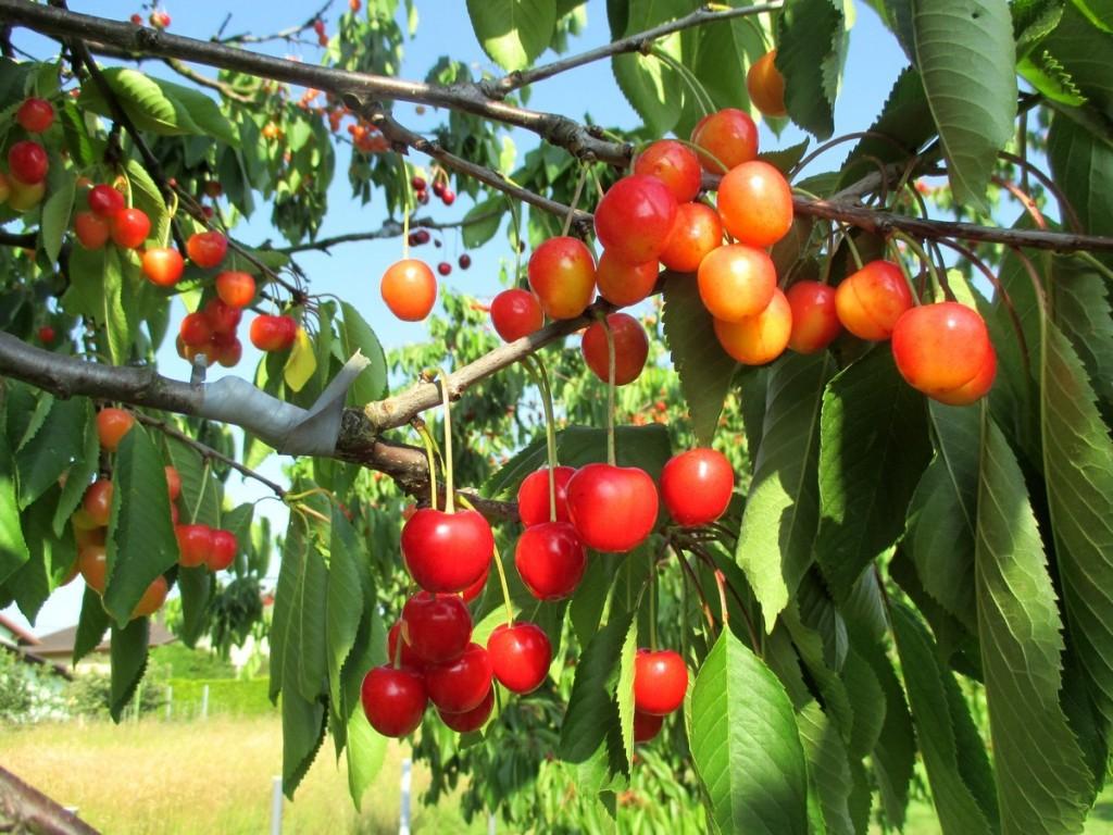 Pour améliorer et favoriser la pollinisation des cerisiers par le vent, greffage d'autres variétés