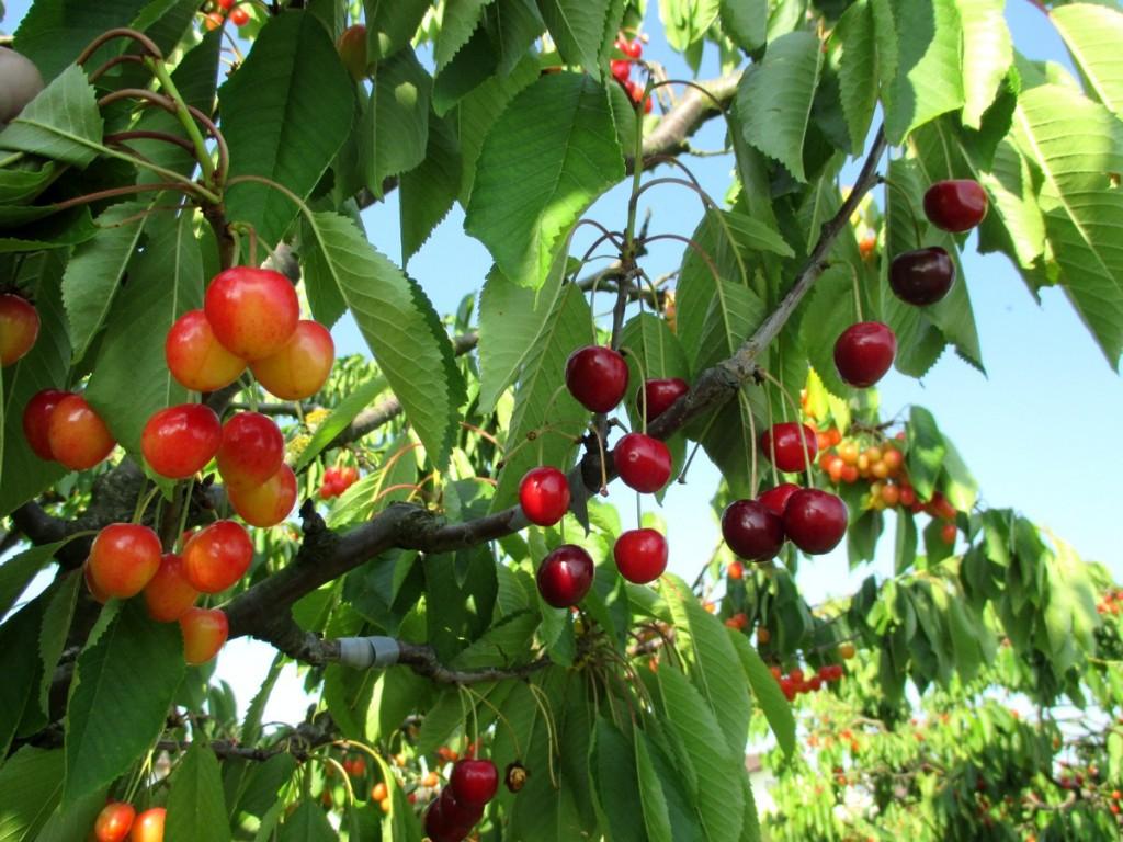 Pour améliorer et favoriser la pollinisation des cerisiers par le vent, j'ai greffé d'autres variétés