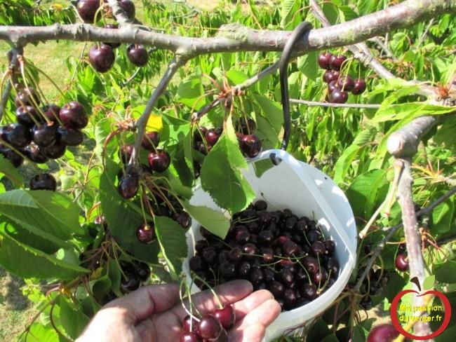 La cueillette des cerises, pour faire le jus