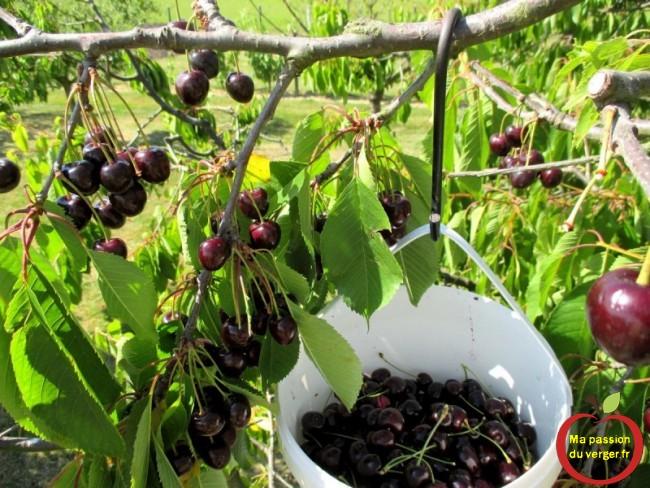 cueillette des cerises sans vers- cerises sans vers