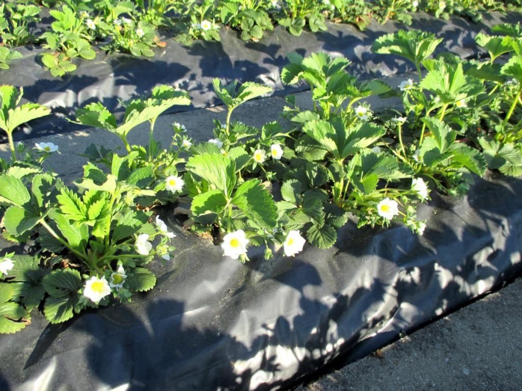 Ma fraiseraie - plantation de fraise sur bache sans entretien passion potager