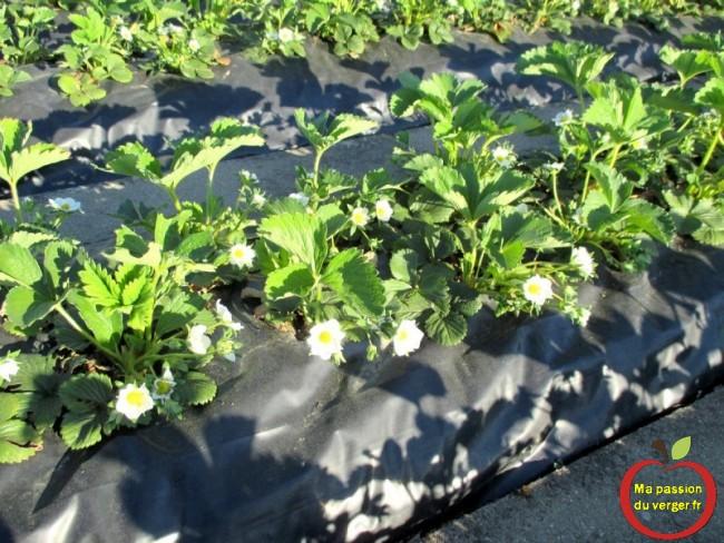 Ma fraiseraie - plantation de fraise sur bâche sans entretien- passion potager -floraison fraisiers sur nylon