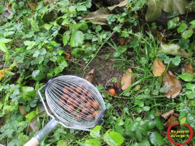 Avec le ramasse-noix, on peux ramasser les noix, même par temps de pluie, sans problème.