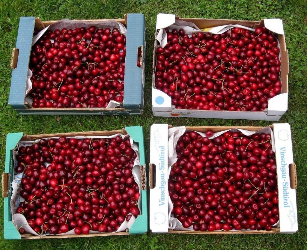 La cueillette de cerises du matin.