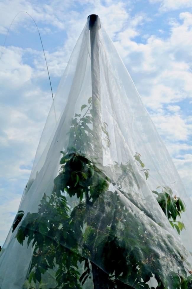 Avantage du filet anti-insecte sur cerises et Kirschfruchtfliege Fliegenschutz