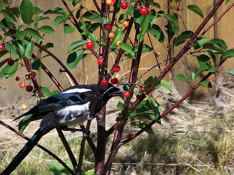 Pie sur cerisier qui mange des cerises