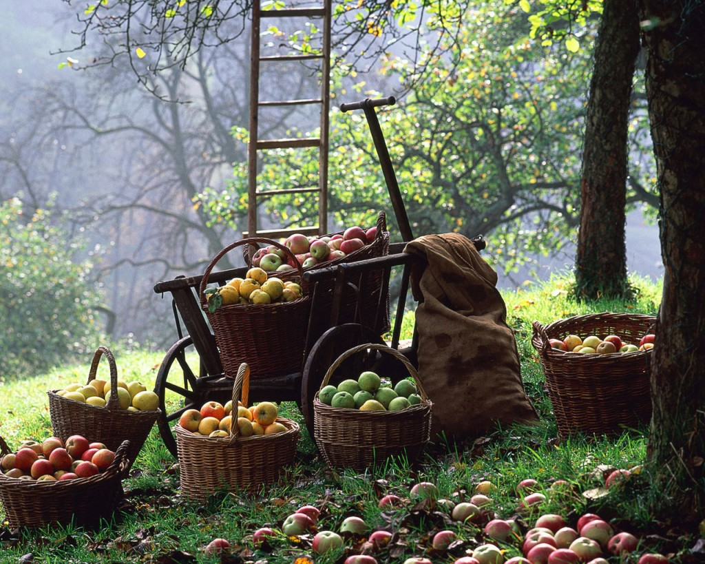 Récolte de pommes à l'ancienne, ramasser les pommes.