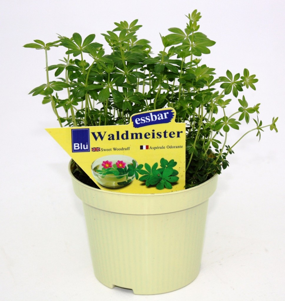 Waldmeister en pot