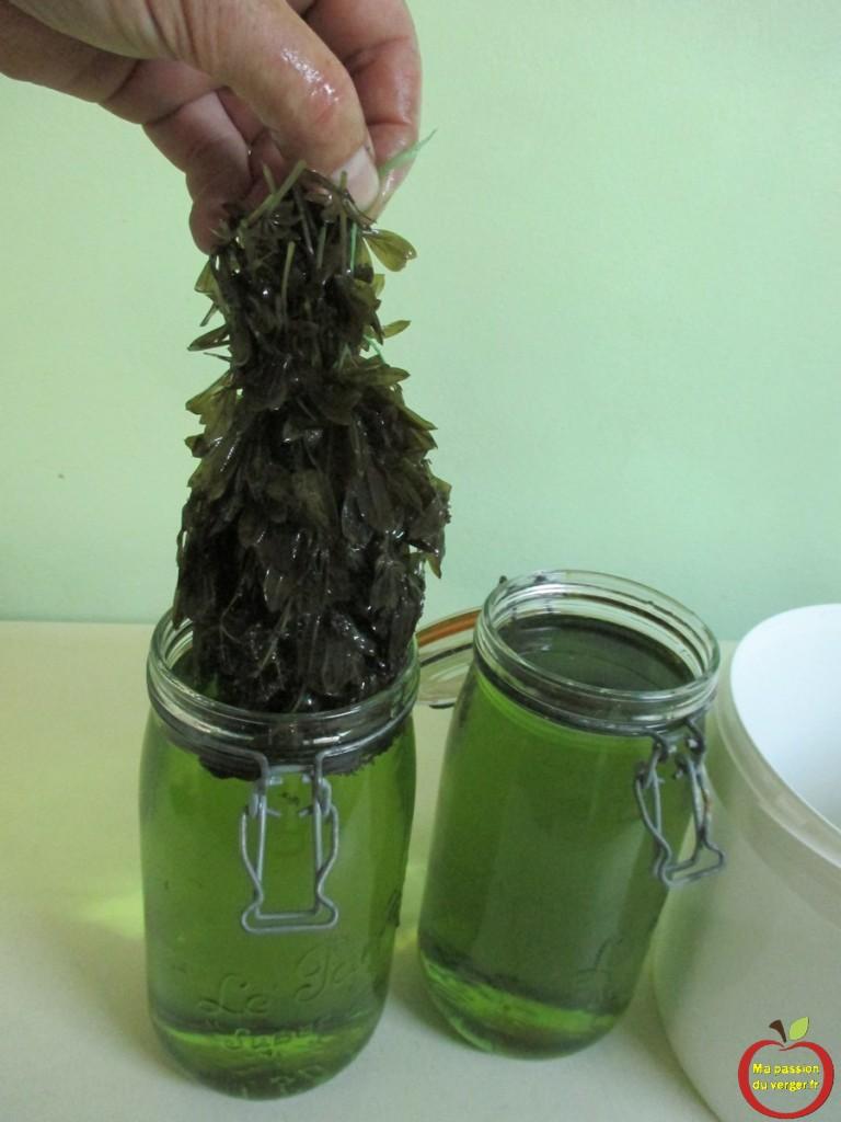 sortir le bouquet d'apérule de l'eau-de-vie