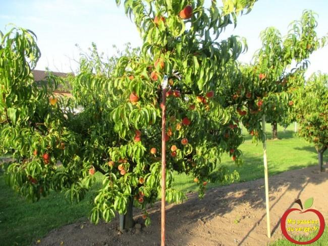 étayer une branche de nectarine ou pêcher- comment étayer un arbre fruitier- comment soutenir une branche