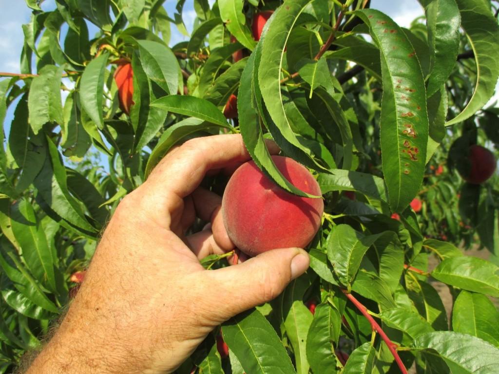 Pour faire le nectar de pêche et nectarine, il faut que les fruits soient au bon stade de maturité. On arrive à reconnaître la bonne maturité de chaque fruit, dès qu'on le touche.