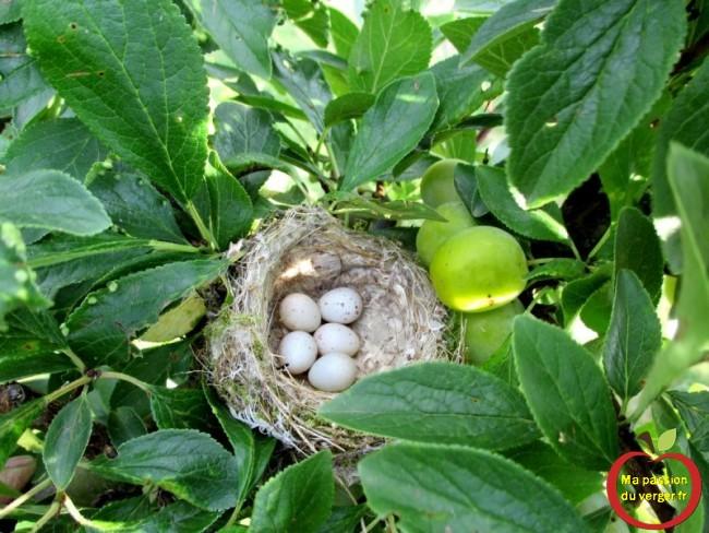 Un autre nid d'oiseau dans les mirabelles