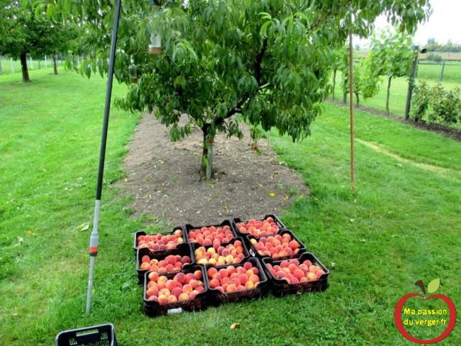 Grande récolte - trop de poids sur les branches-